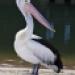 Аватар пользователя Pelican